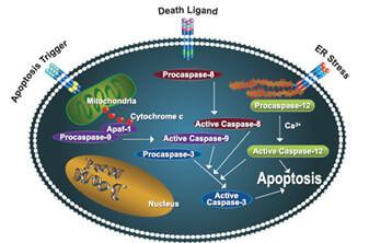 apoptosis_01
