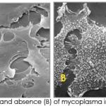 Mycoplasma_SEM