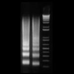 Biovision_DNAladder