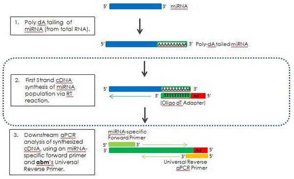 G269/G270 miRNA cDNA Synthesis Kit Workflow
