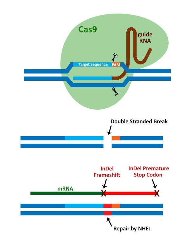 iCRISPR-Mechanism