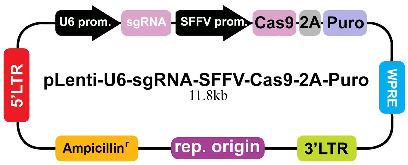 pLenti-U6-sgRNA-SFFV-Cas9-2A-Puro-NEW