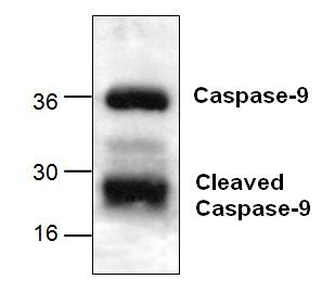 CASPASE 9 Multi