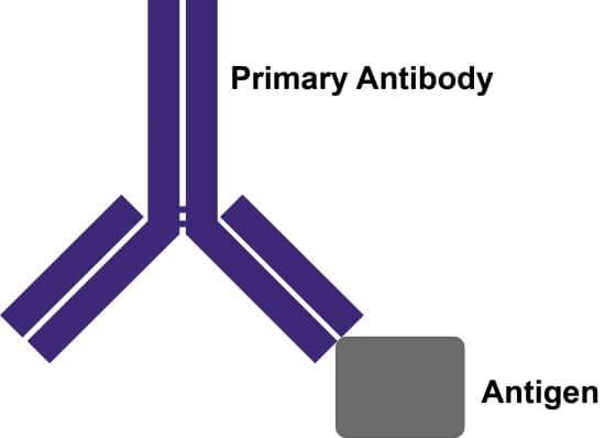 Primary Antibody - Antigen