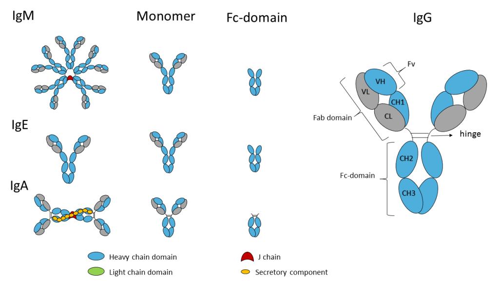 Fc-domain-2b2-1024x576